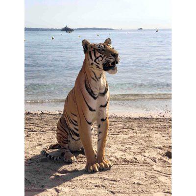 Rare tigre femelle du Bengale naturalisé en entier en position assise, gueule ouverte